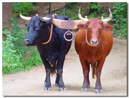 Oxen Power For Family Farms | The Contrary Farmer