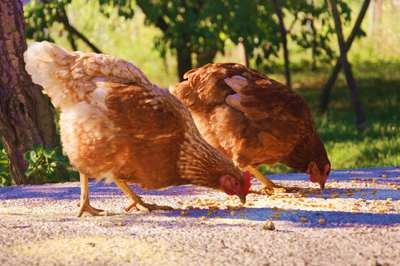 8 Amazing Facts Uncovered on How Long Do Chickens Live